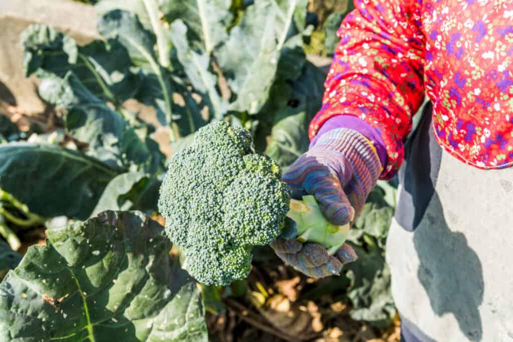 fresh picked broccoli in the garden