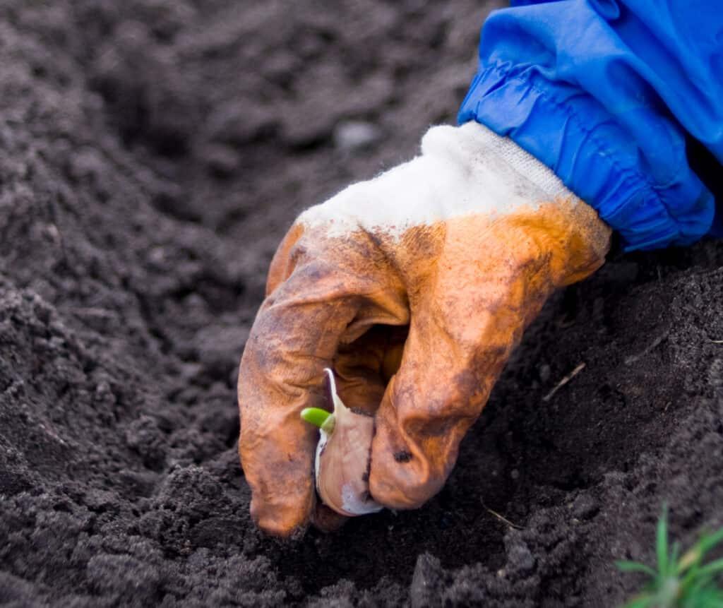 planting a garlic clove
